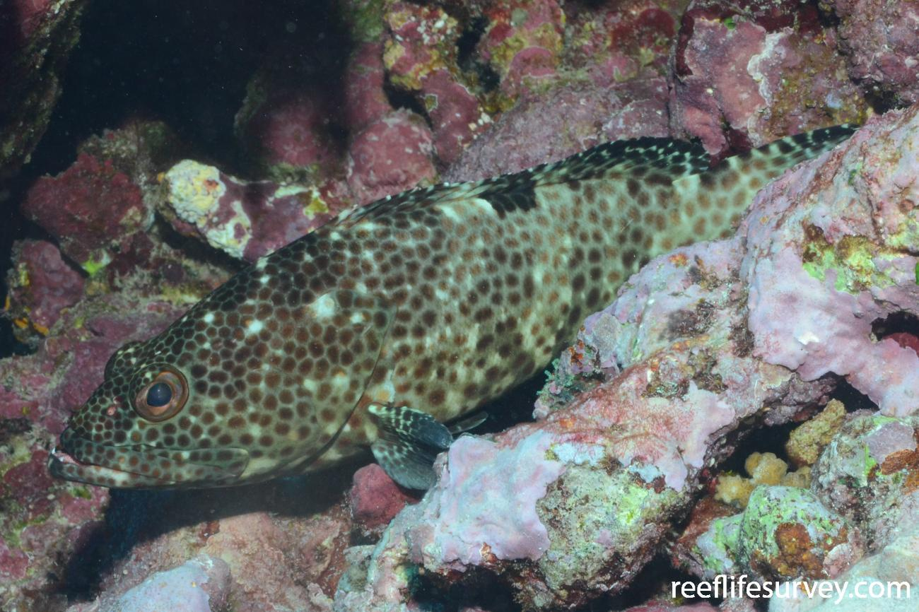 Epinephelus melanostigma, Adult, Samoa,  Photo: Graham Edgar