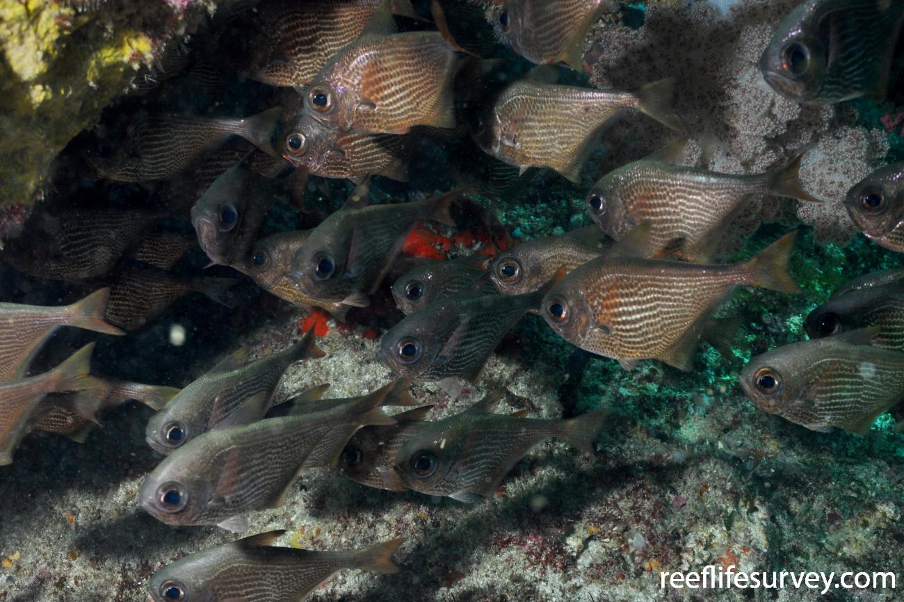 Pempheris molucca, Shark Bay,  Photo: Rick Stuart-Smith