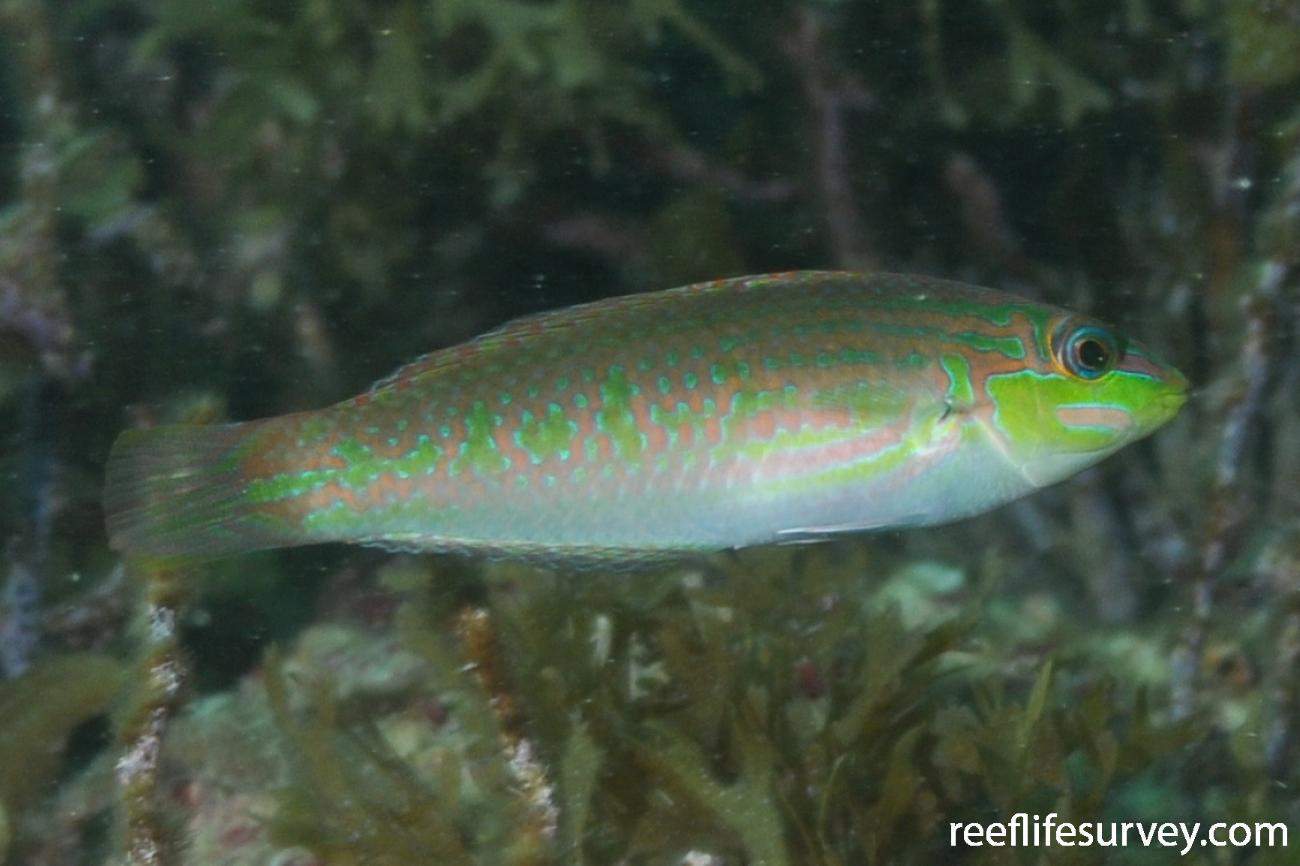 Halichoeres sp. [orientalis], Male, Dampier, WA,  Photo: Rick Stuart-Smith