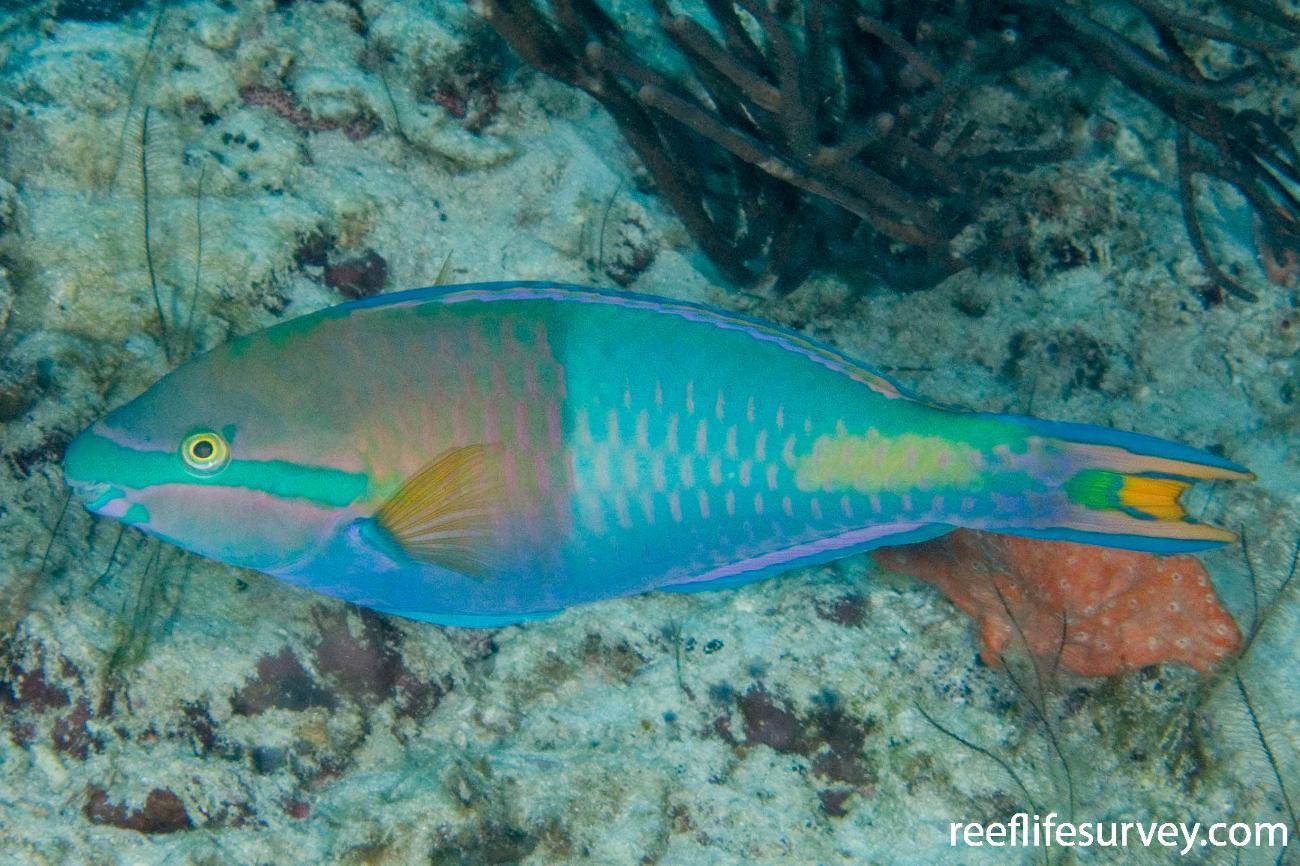 Scarus flavipectoralis, Male, Raja Ampat, Indonesia,  Photo: Andrew Green