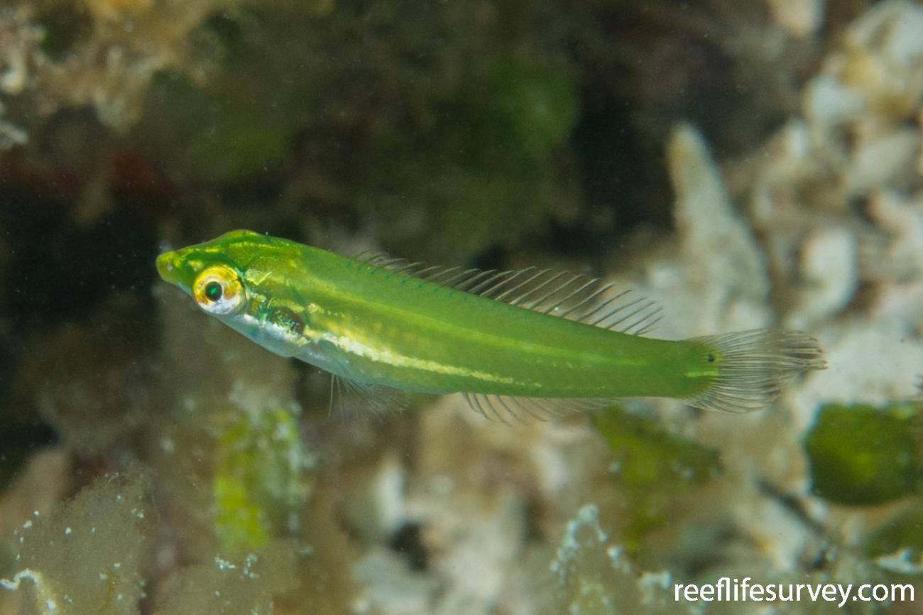 Halichoeres chloropterus, Juvenile, Raja Ampat, Indonesia,  Photo: Rick Stuart-Smith