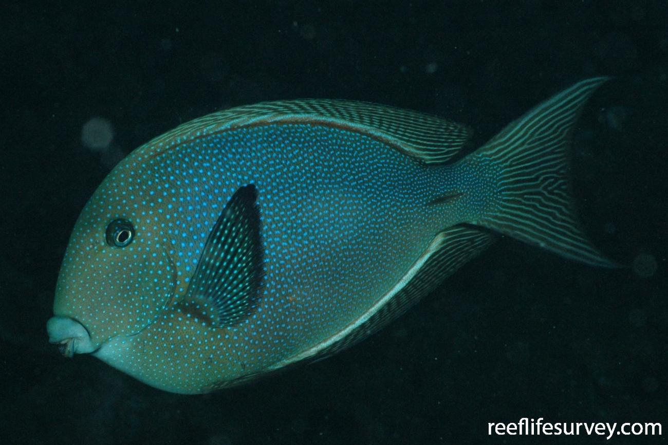 Ctenochaetus marginatus, Cocos Island, Costa Rica,  Photo: Graham Edgar