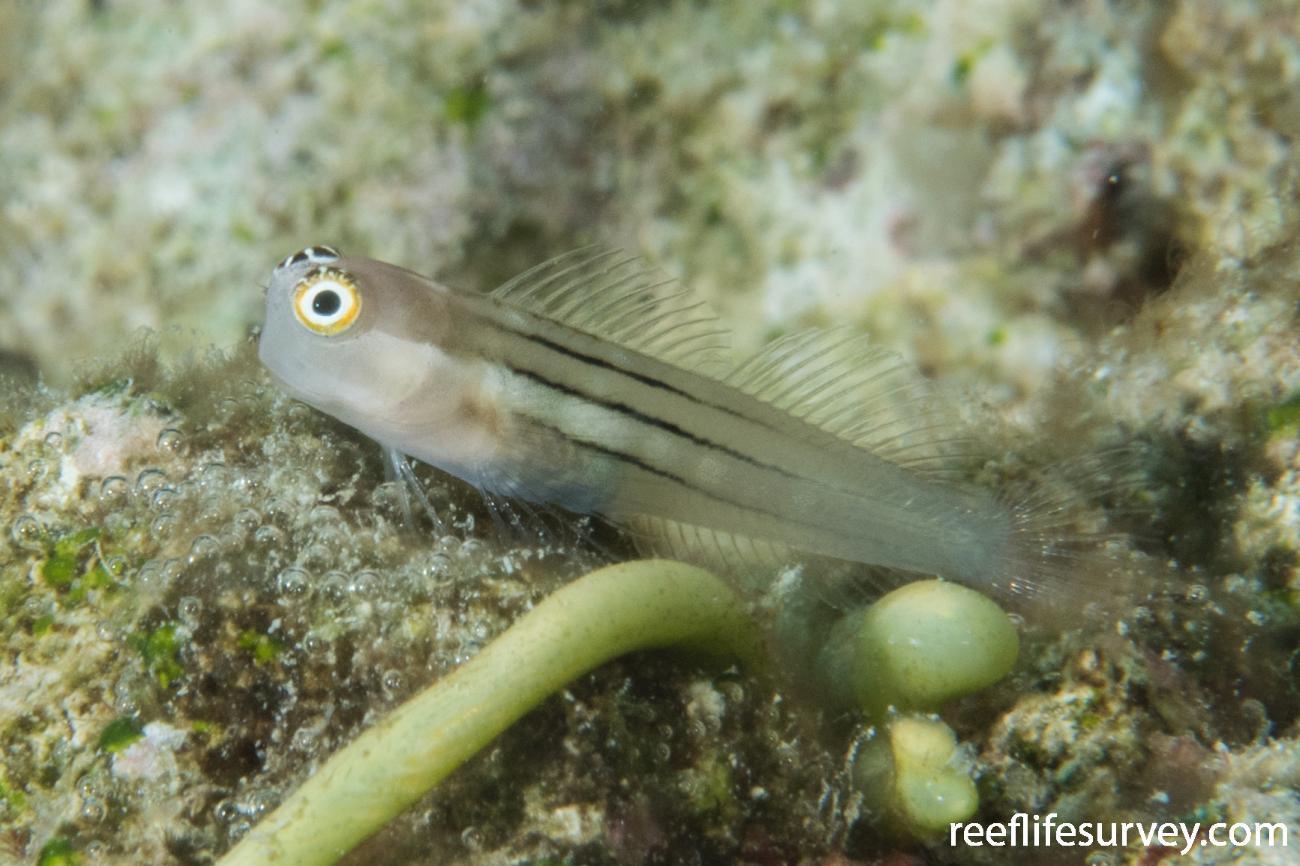 Ecsenius aequalis, Lizard Island, QLD,  Photo: Rick Stuart-Smith