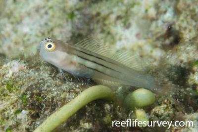Ecsenius aequalis: Lizard Island, QLD,  Photo: Rick Stuart-Smith