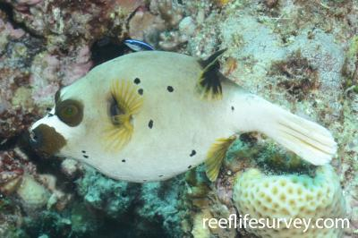 Arothron nigropunctatus: Adult, Great Barrier Reef, Cairns, Australia,  Photo: Joe Shields