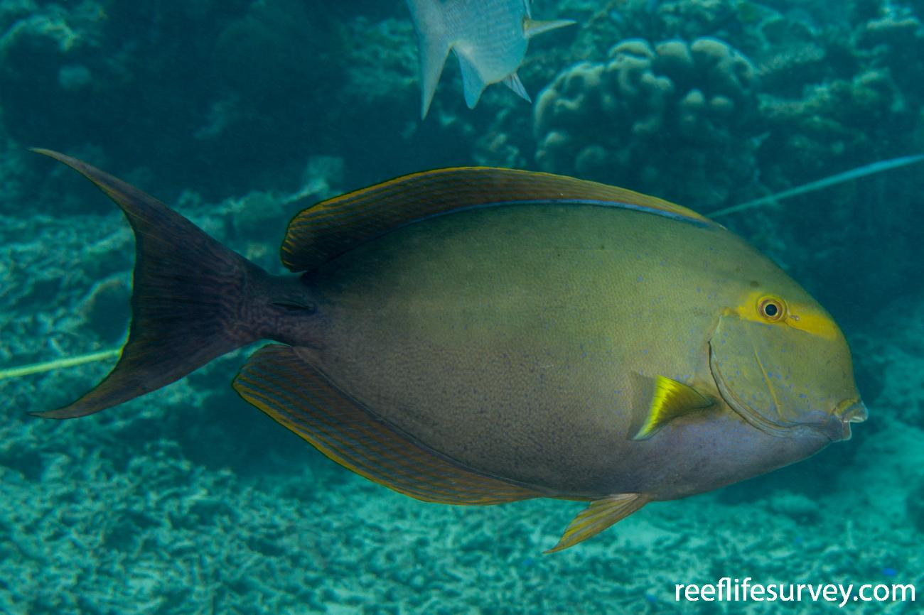 Acanthurus xanthopterus, Raja Ampat, Indonesia,  Photo: Rick Stuart-Smith
