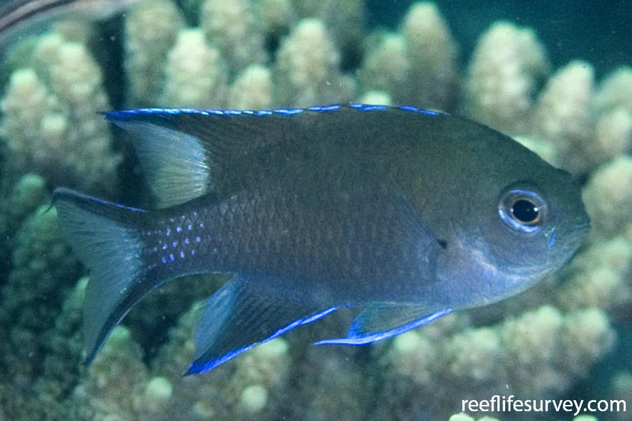 Neopomacentrus filamentosus, Adult, Exmouth, WA,  Photo: Andrew Green