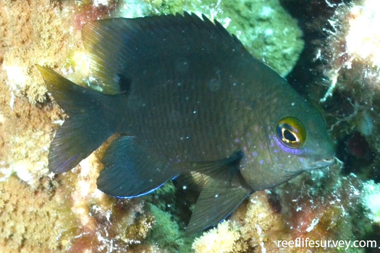 Stegastes lividus, Coral Sea,  Photo: Graham Edgar