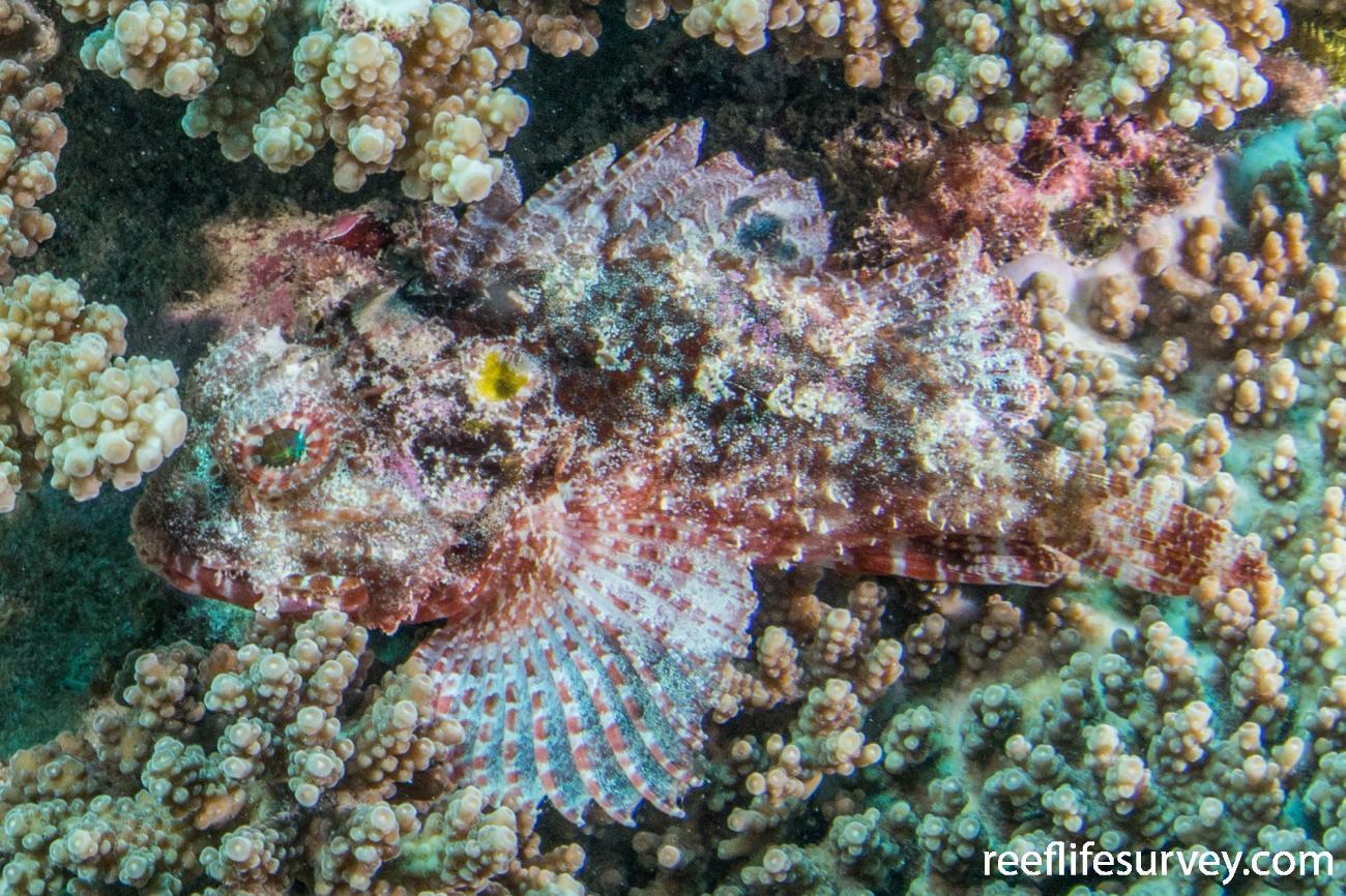 Parascorpaena aurita, Ningaloo Reef, Australia,  Photo: Rick Stuart-Smith