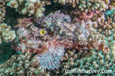 Parascorpaena aurita: Ningaloo Reef, Australia,  Photo: Rick Stuart-Smith