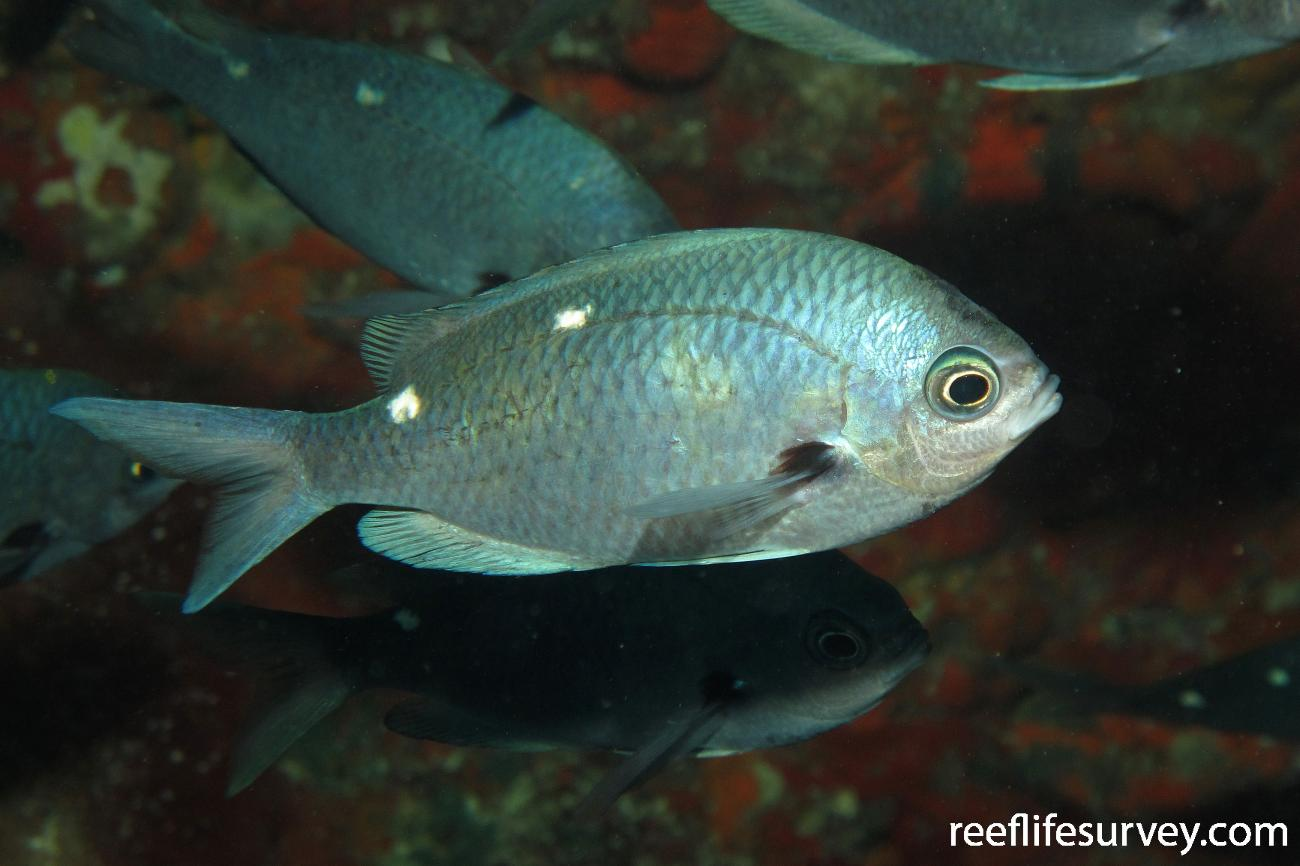 Chromis dispilus, Adult, Poor Knights Is, New Zealand,  Photo: Andrew Green