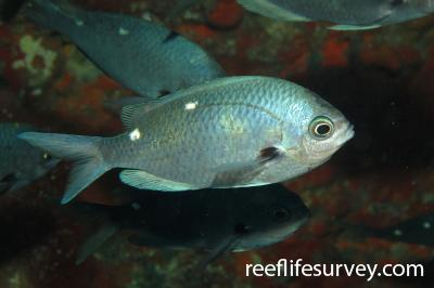 Chromis dispilus: Adult, Poor Knights Is, New Zealand,  Photo: Andrew Green