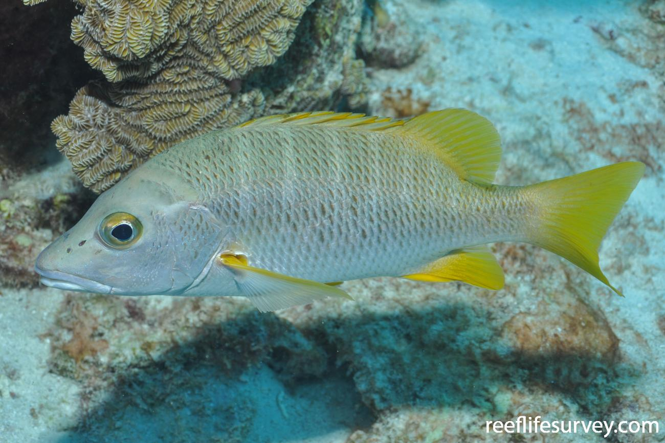 Lutjanus apodus, Bonaire,  Photo: Rick Stuart-Smith