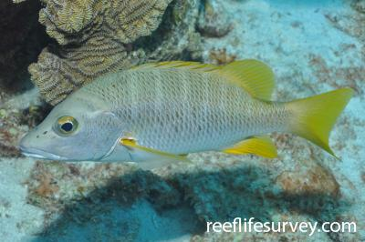 Lutjanus apodus: Bonaire,  Photo: Rick Stuart-Smith