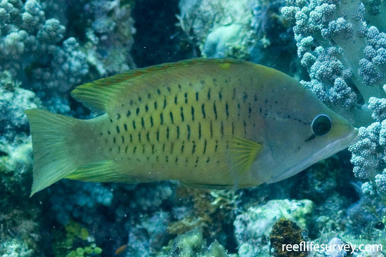 Epibulus insidiator, Northern Great Barrier Reef, QLD,  Photo: Andrew Green