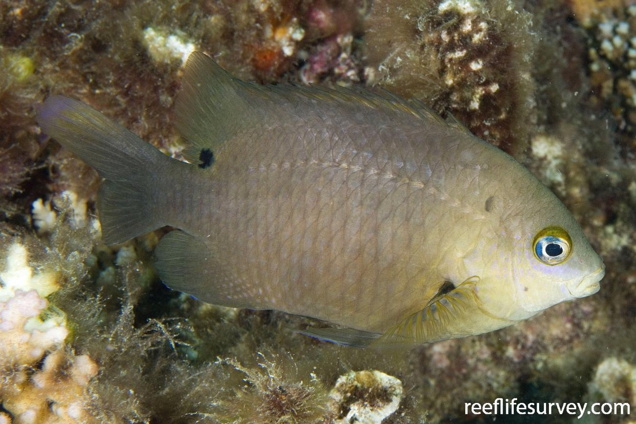 Stegastes nigricans, Adult, Naigani Is, Fiji,  Photo: Andrew Green