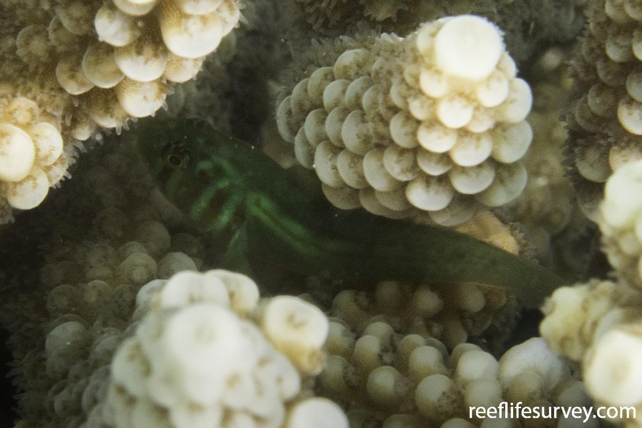 Gobiodon histrio, WA, Australia,  Photo: Rick Stuart-Smith