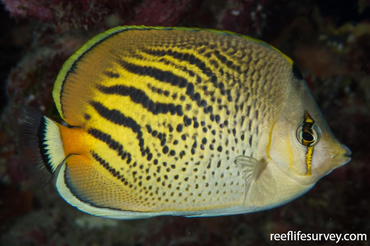 Chaetodon pelewensis, Lord Howe Is, NSW,  Photo: Rick Stuart-Smith