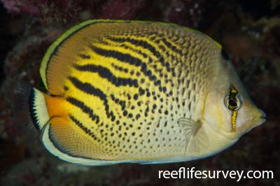 Chaetodon pelewensis: Lord Howe Is, NSW,  Photo: Rick Stuart-Smith