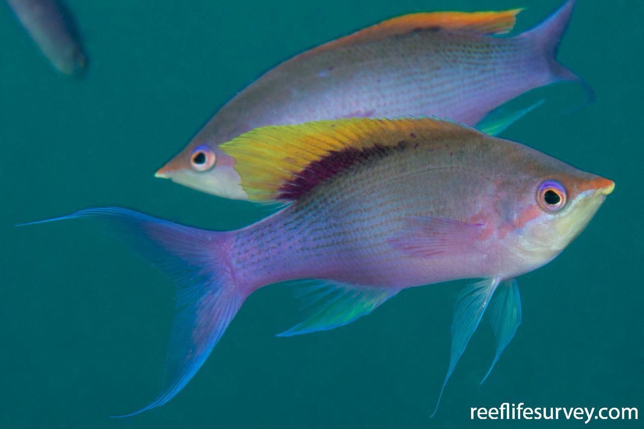 Pseudanthias tuka, Male.  Photo: Rick Stuart-Smith