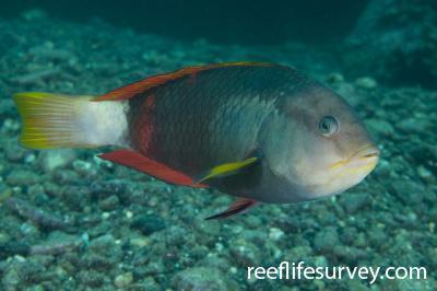 Notolabrus gymnogenis: Male, Batemans Bay, NSW,  Photo: Andrew Green