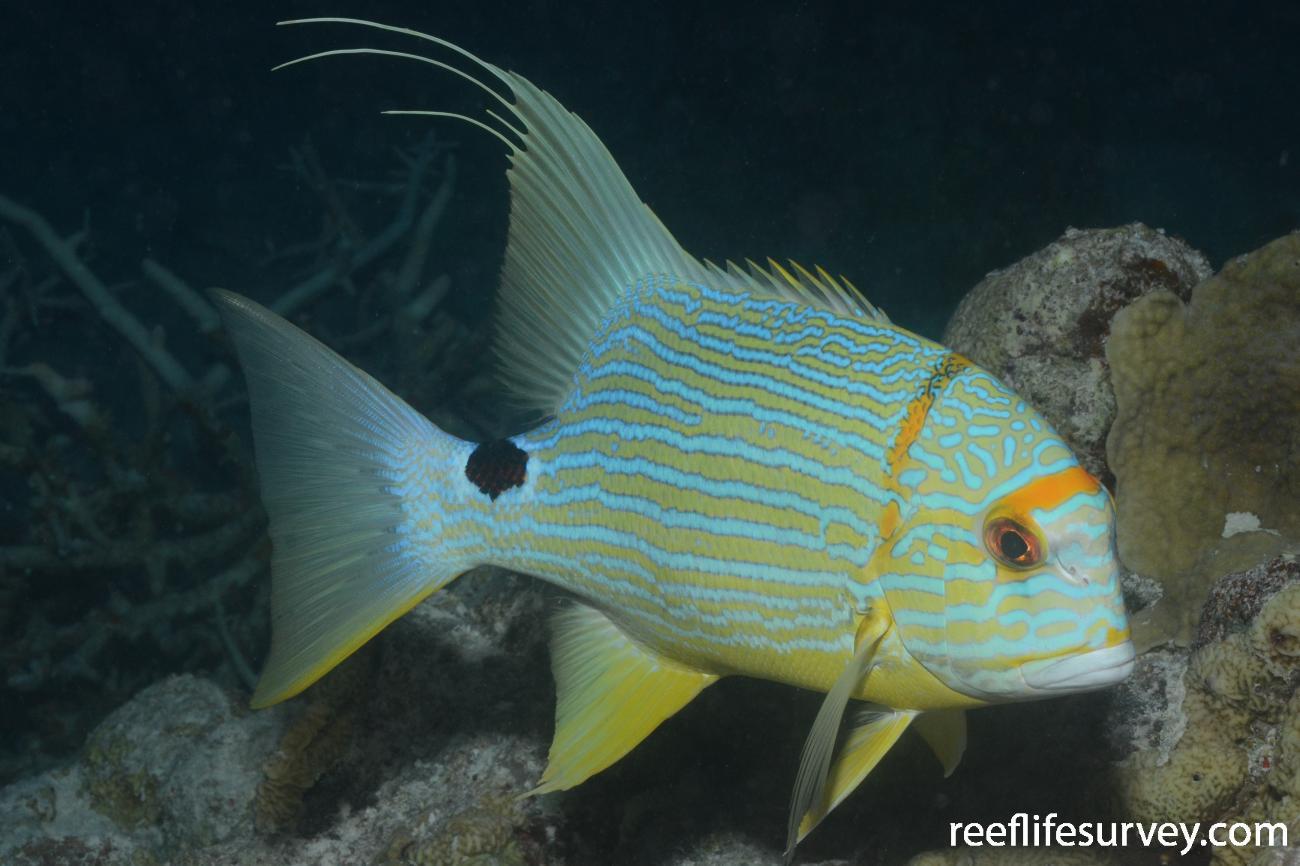 Symphorichthys spilurus, WA, Australia,  Photo: Graham Edgar