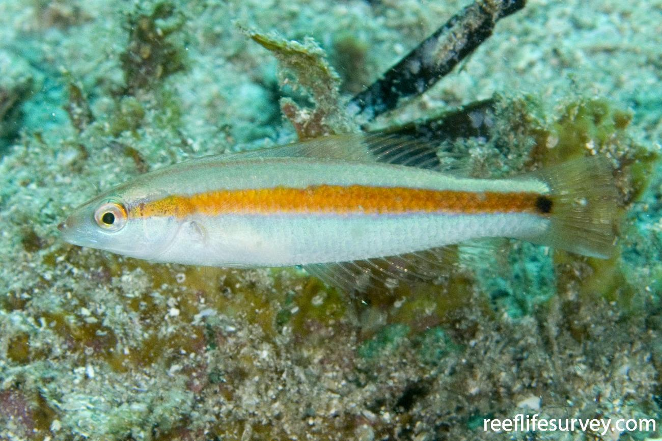Halichoeres hartzfeldii, Juvenile, Jervis Bay, NSW,  Photo: Andrew Green