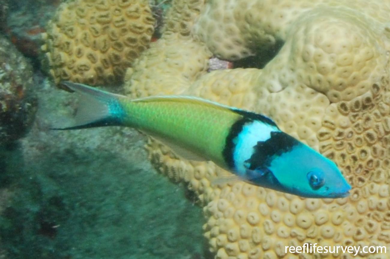 Thalassoma bifasciatum, Male, Florida Keys, USA,  Photo: Graham Edgar