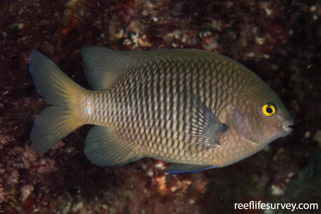 Stegastes fasciolatus, NSW, Australia,