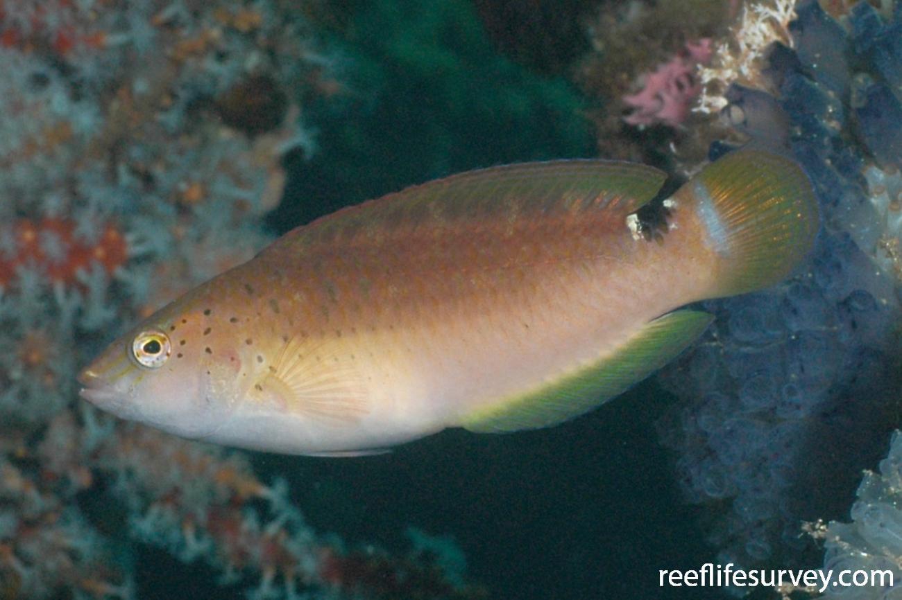 Austrolabrus maculatus, Busselton, WA,  Photo: Graham Edgar
