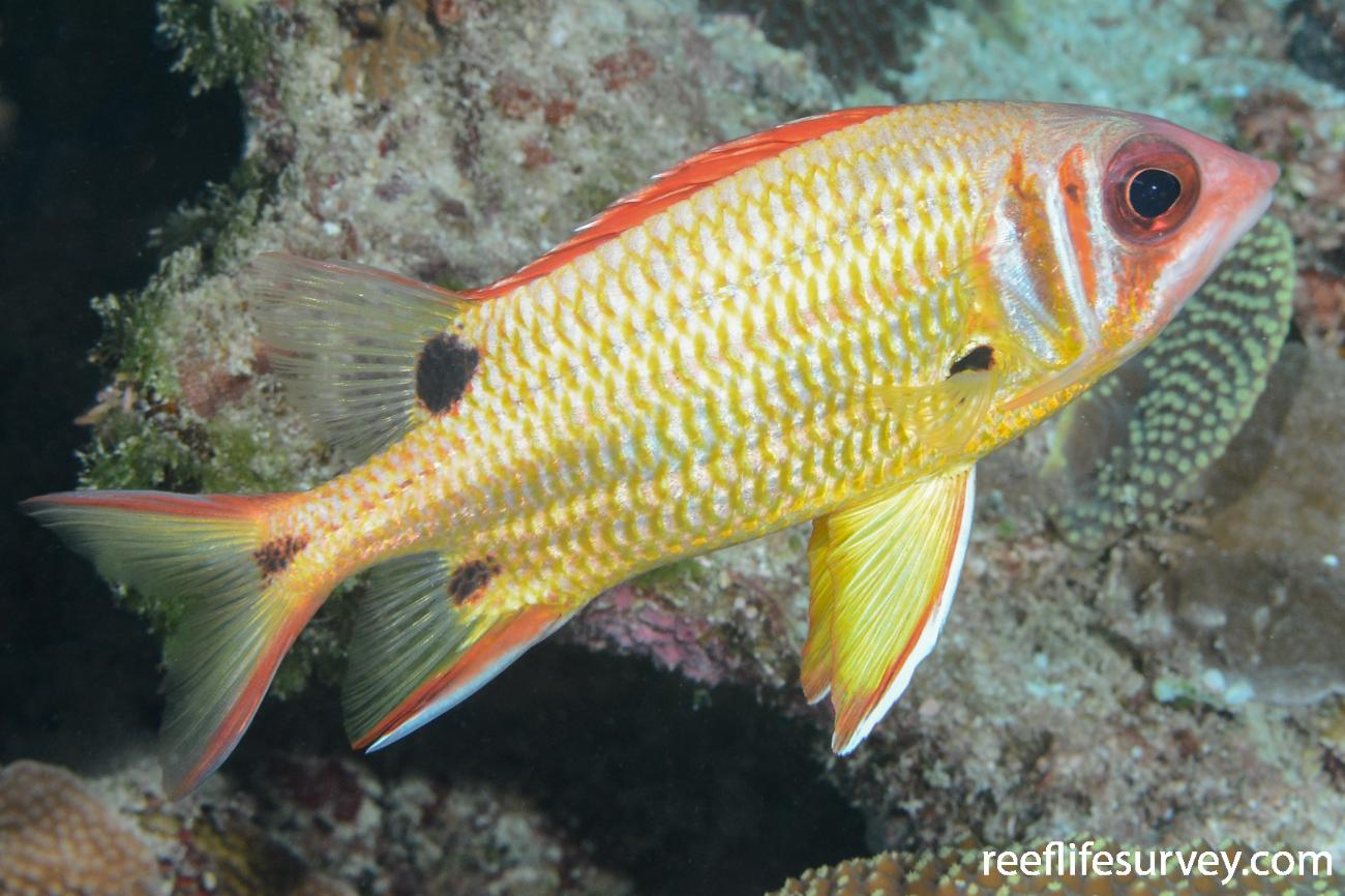 Sargocentron melanospilos, Saumarez Reef, Coral Sea,  Photo: Graham Edgar