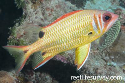 Sargocentron melanospilos: Saumarez Reef, Coral Sea,  Photo: Graham Edgar
