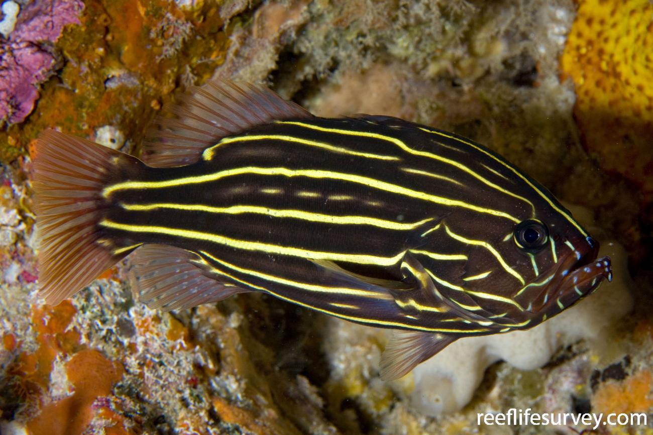 Grammistes sexlineatus, Lord Howe Is, Australia,  Photo: Andrew Green