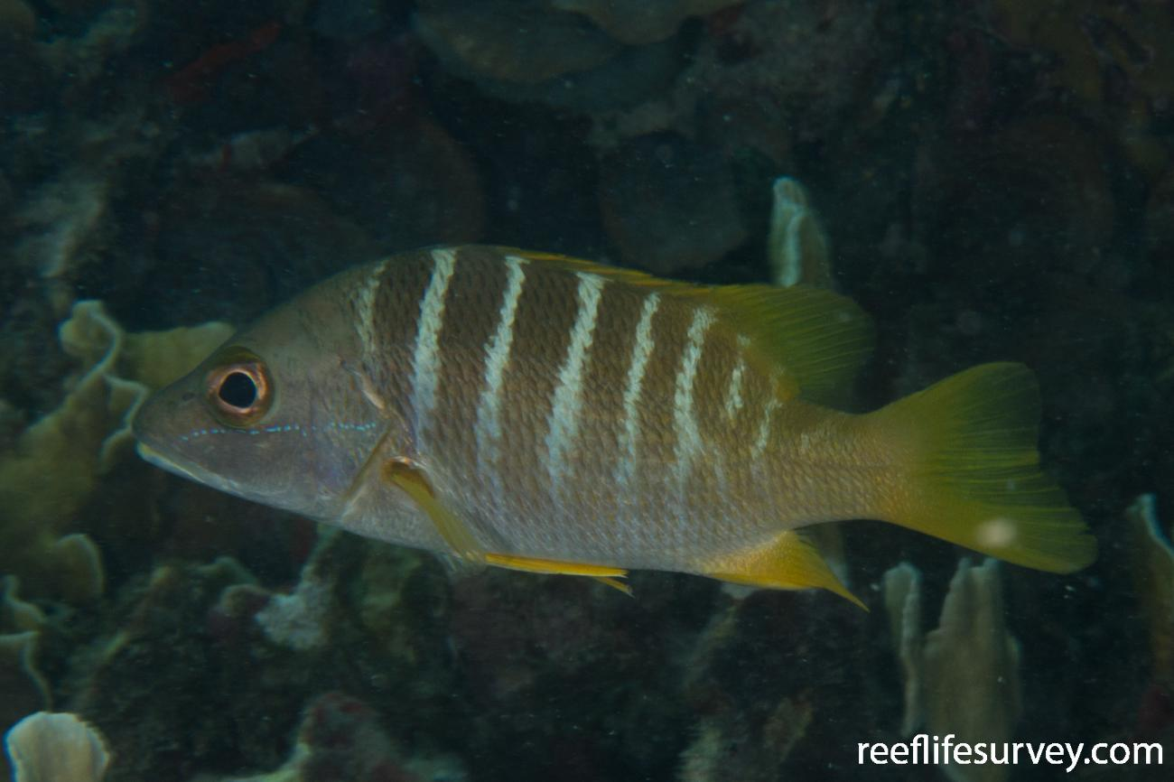 Lutjanus apodus, Bocas del Toro, Panama,  Photo: Rick Stuart-Smith