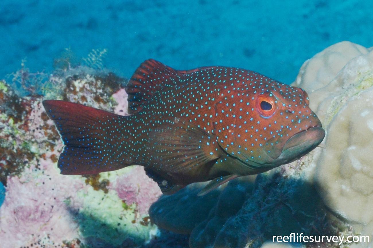 Plectropomus leopardus, Flinders Ribbon Reef, Coral Sea,  Photo: Graham Edgar