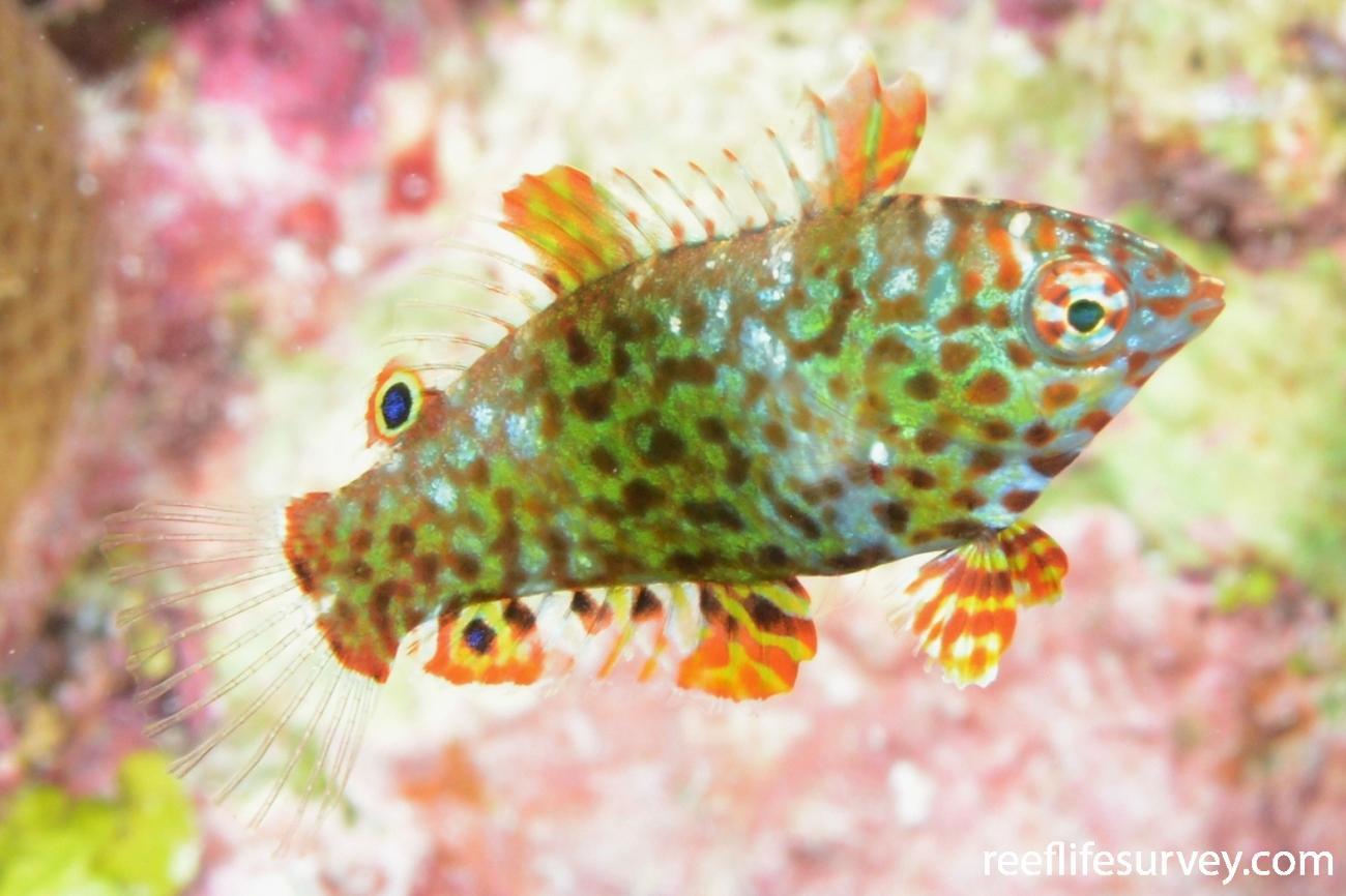 Macropharyngodon meleagris, Juvenile, Mellish Reef, Corals Sea,  Photo: Graham Edgar