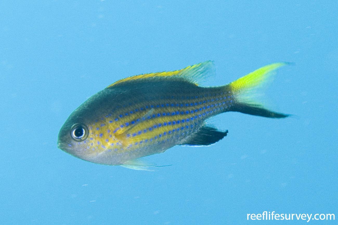 Chromis vanderbilti, Adult, Lord Howe Is, NSW,  Photo: Andrew Green