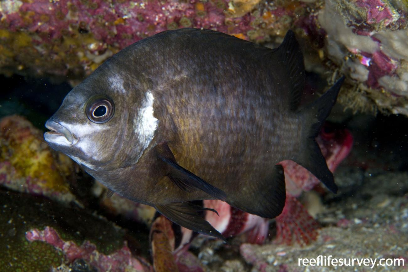 Parma microlepis, Adult, Jervis Bay, NSW,  Photo: Andrew Green