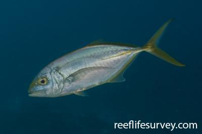 Carangoides bartholomaei: Belize,  Photo: Rick Stuart-Smith
