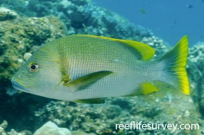 Lutjanus rivulatus: Adult, Bali, Indonesia,  Photo: Ian Shaw
