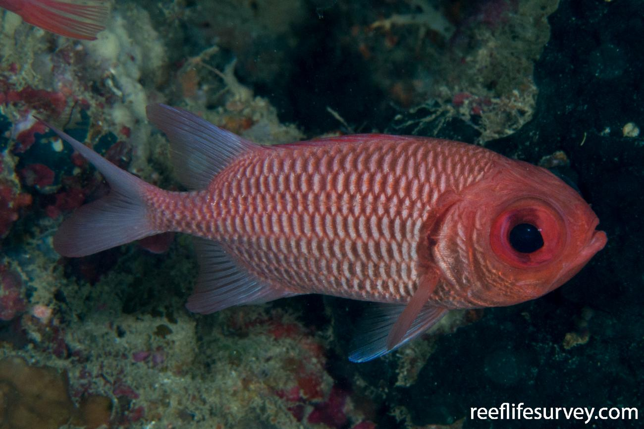 Myripristis hexagona, Raja Ampat, Indonesia,  Photo: Rick Stuart-Smith