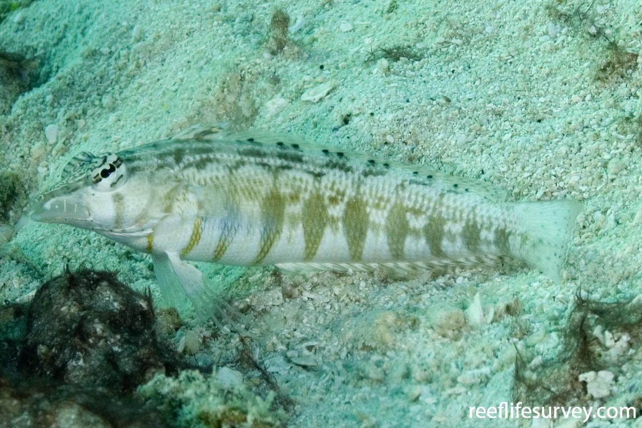 Parapercis lineopunctata, Torres Strait, QLD,  Photo: Andrew Green