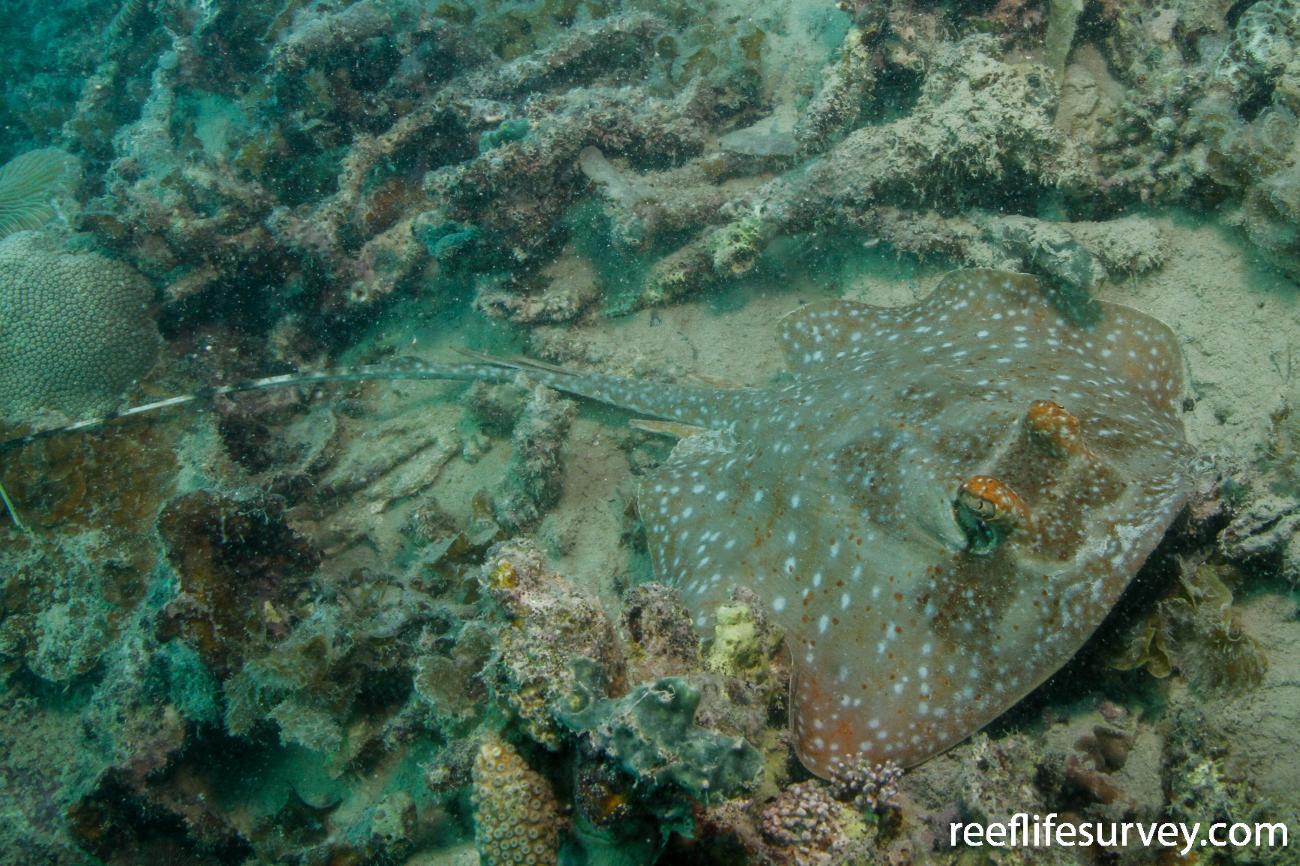Neotrygon ningalooensis, Cape Leveque, Western Australia,  Photo: Graham Edgar