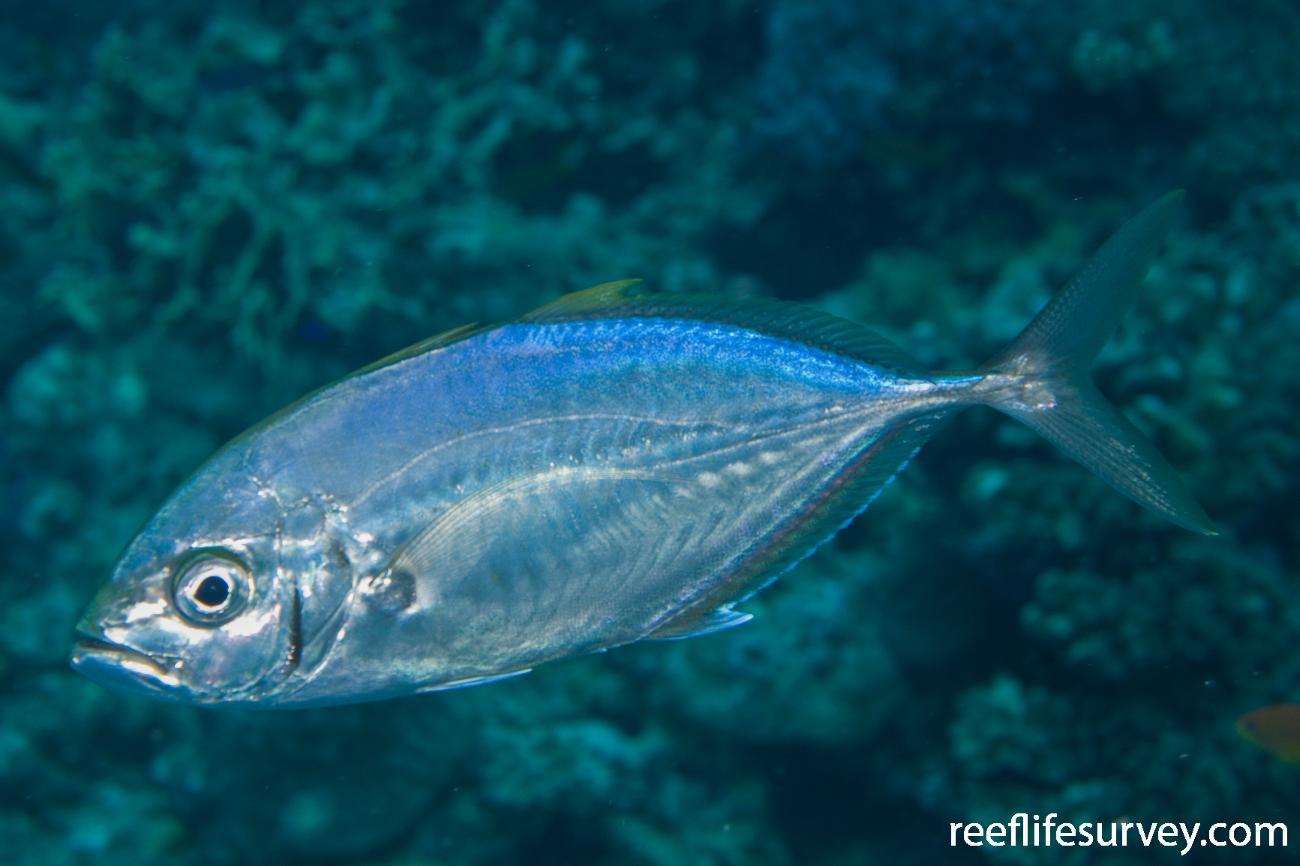 Carangoides plagiotaenia, Naigani Is, Fiji,  Photo: Andrew Green
