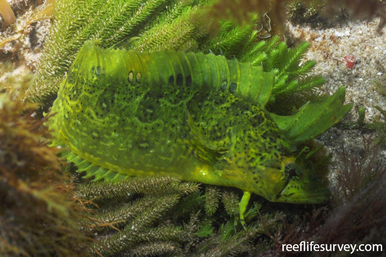 Heteroclinus tristis, Coles Bay, TAS,  Photo: Rick Stuart-Smith