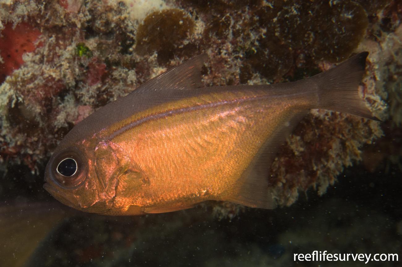 Pempheris analis, QLD, Australia,  Photo: Rick Stuart-Smith