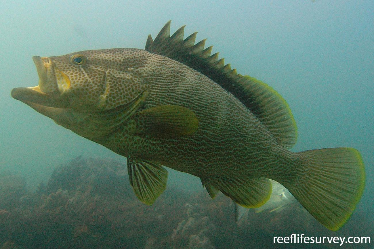 Epinephelus undulatostriatus, Port Stephens, New South Wales, Australia,  Photo: Tom Davis