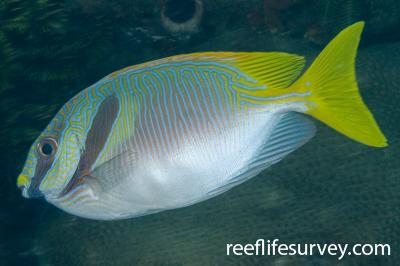 Siganus doliatus: Raja Ampat, Indonesia,  Photo: Andrew Green