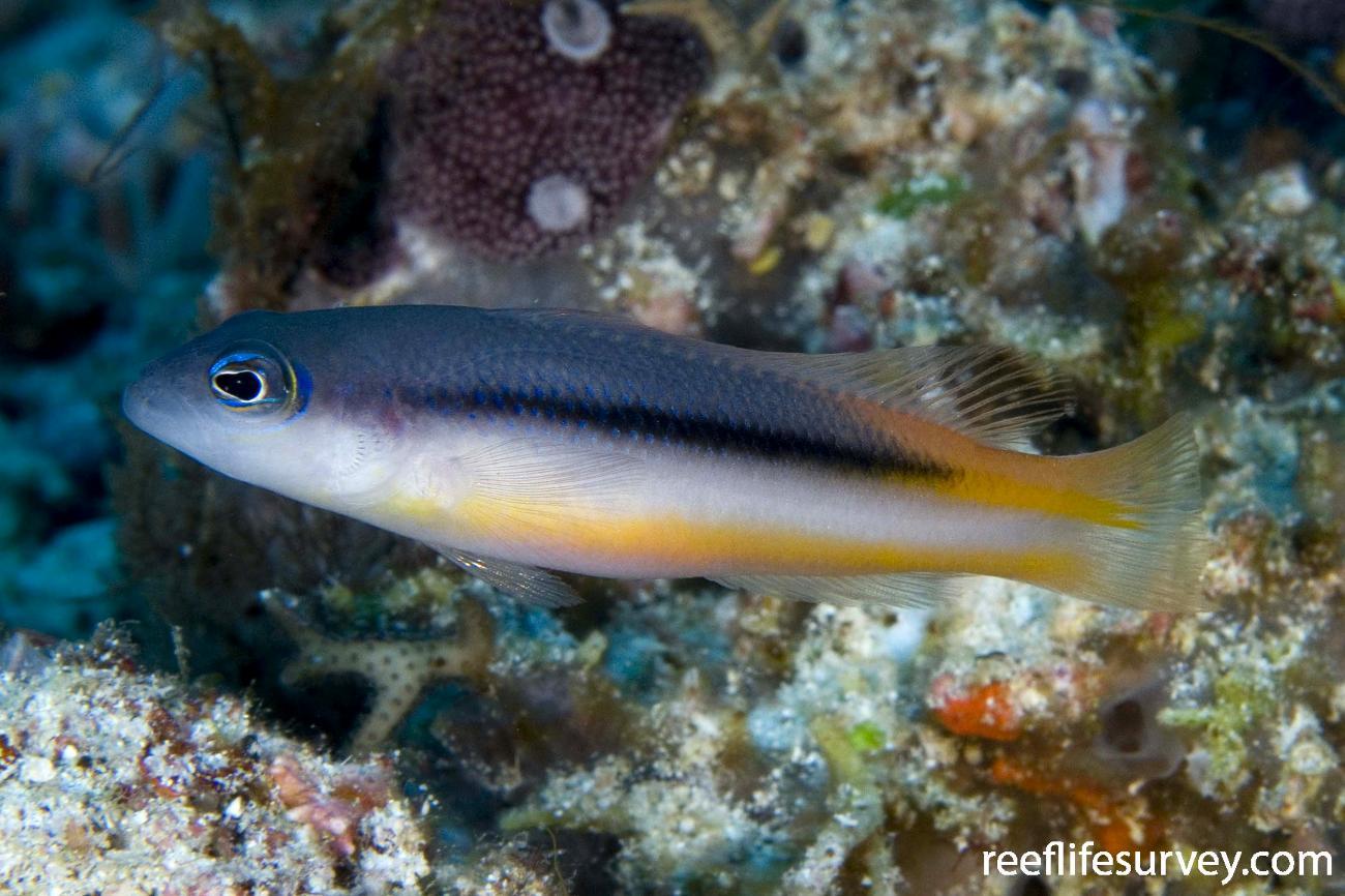 Pseudochromis ammeri, Raja Ampat, Indonesia,  Photo: Andrew Green