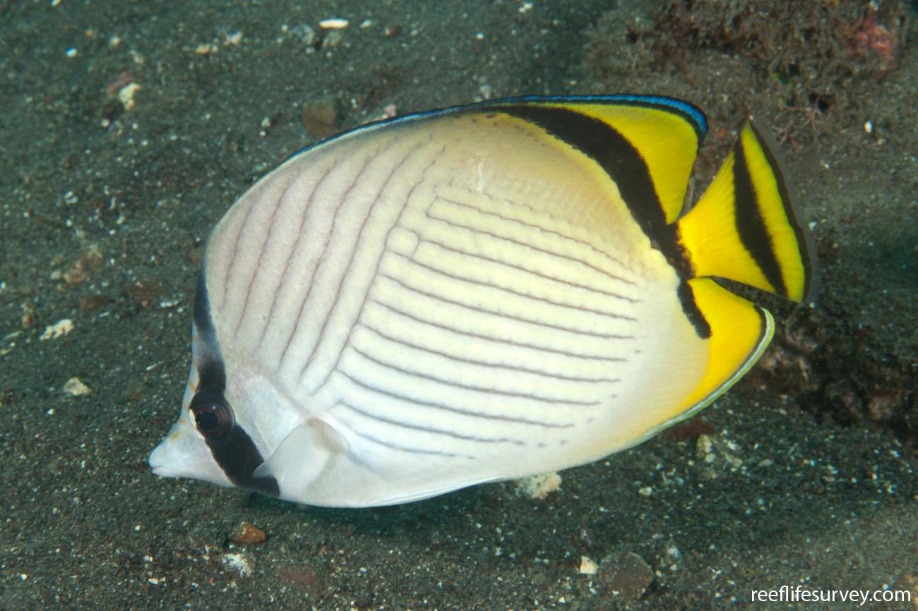 Chaetodon vagabundus, Adult, Bali, Indonesia,  Photo: Ian Shaw
